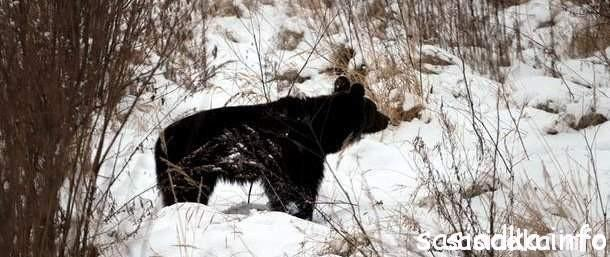 Ślady niedźwiedzia w Sąsiadce