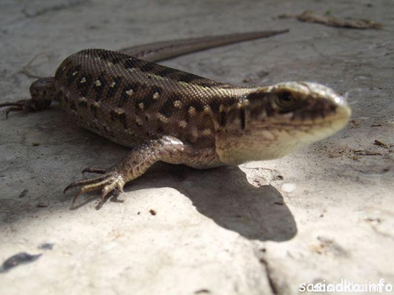 Krokodyl w Sąsiadce ?