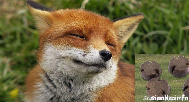 lis i szczepionka